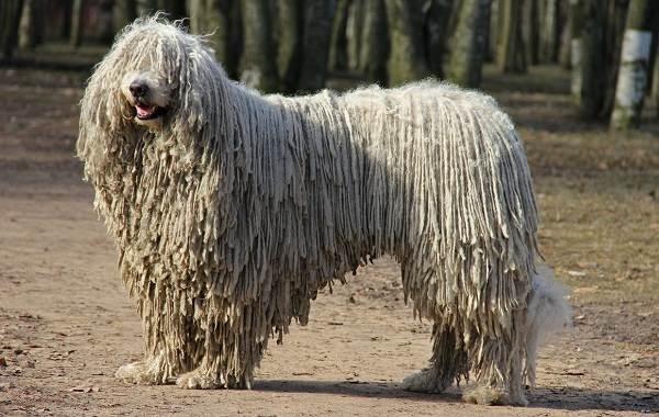 комондор венгерская овчарка