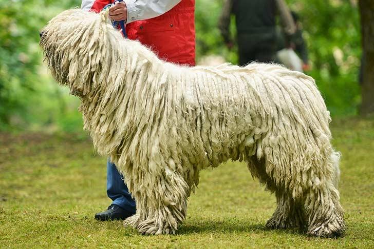 венгерская пастушья собака