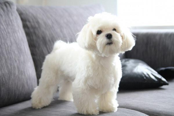 мальтезе фото взрослой собаки