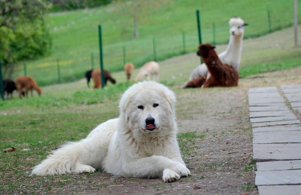 маремма абруццкая овчарка щенки