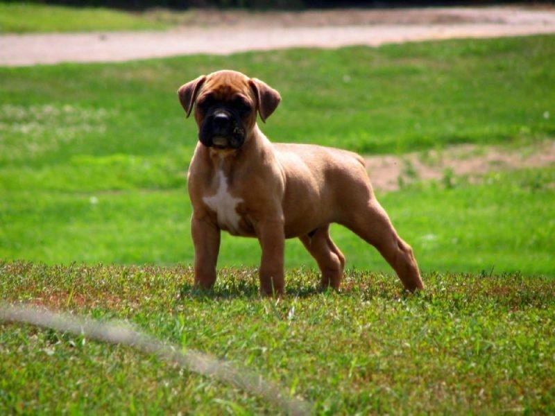 боксер собака белый