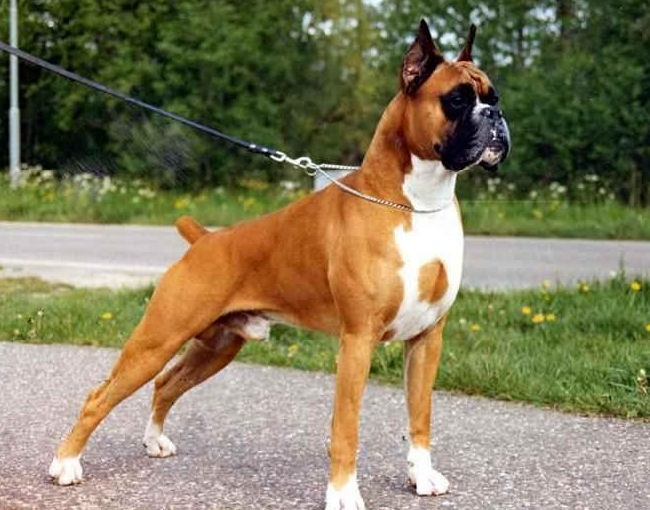 сколько стоит собака боксер