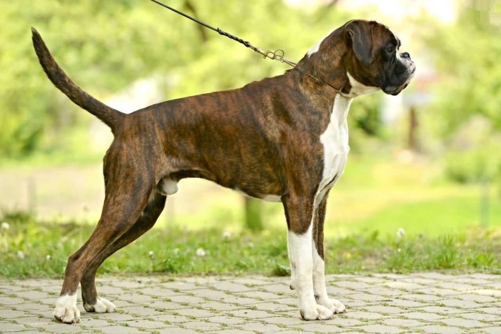 характер боксера собаки