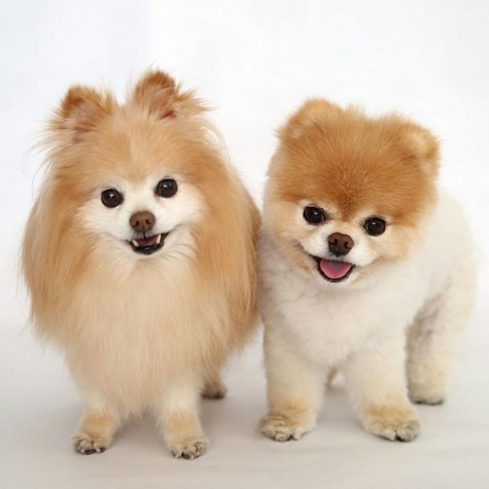 цвергшпиц фото взрослой собаки