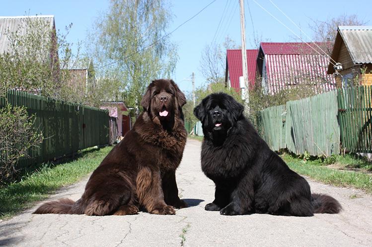 Ньюфаундленд описание породы собак