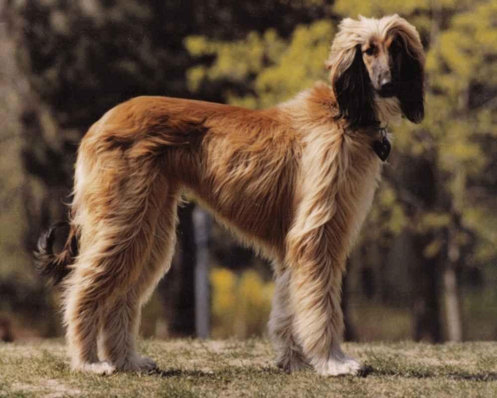 карликовая овчарка