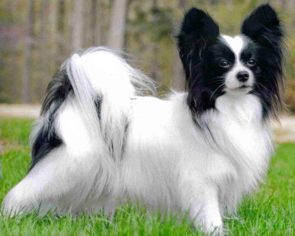 собака бабочка папильон