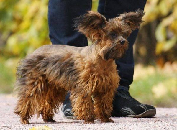 петербургская орхидея собака