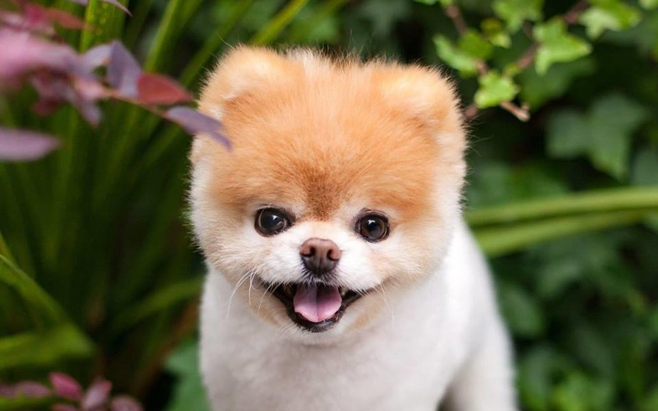 померанец собака