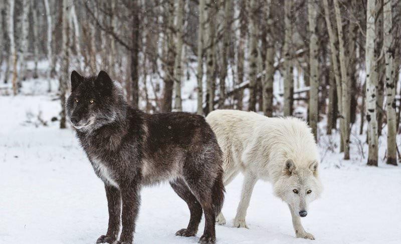 смесь овчарки и волка