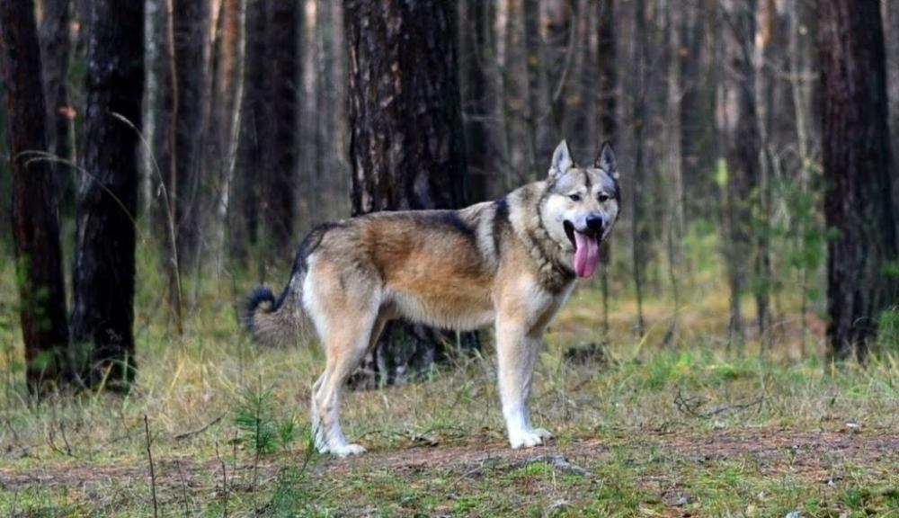собака скрещенная с волком порода