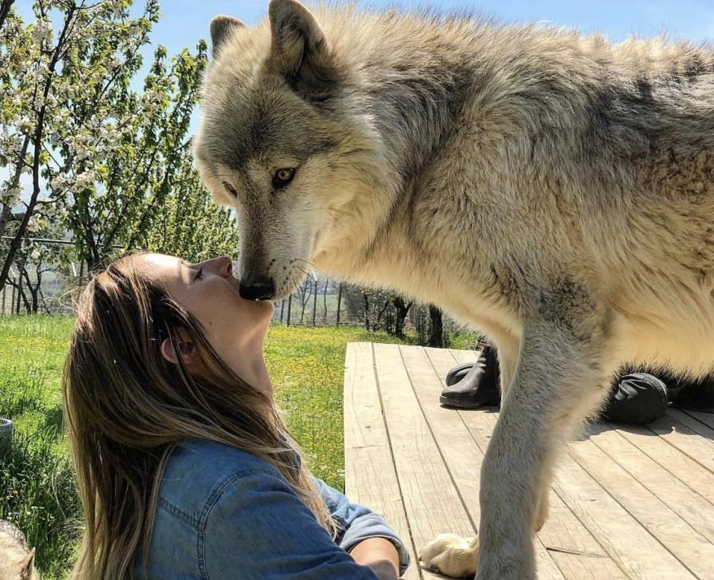 щенки волка и хаски