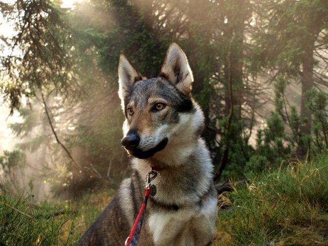 помесь волка и собаки