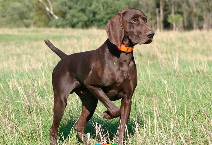 английская охотничья собака