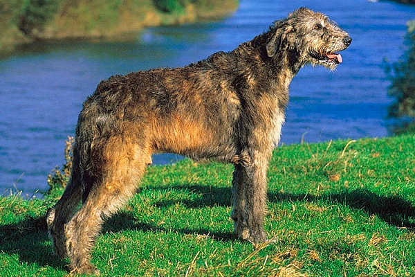 русская охотничья собака