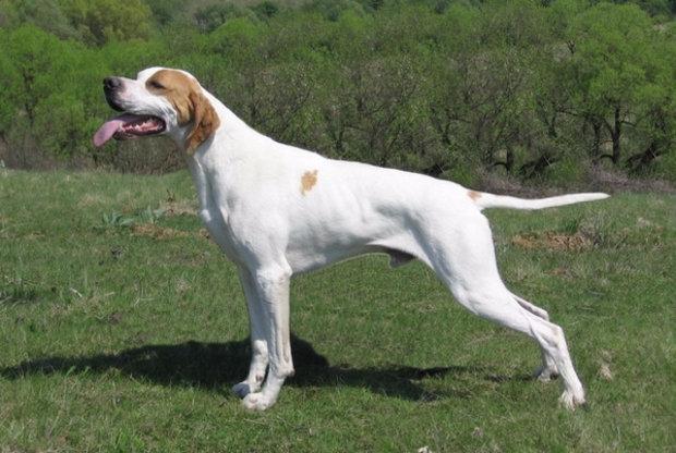пойнтер порода собак