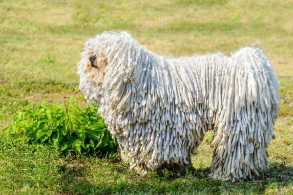 венгерская водяная собака