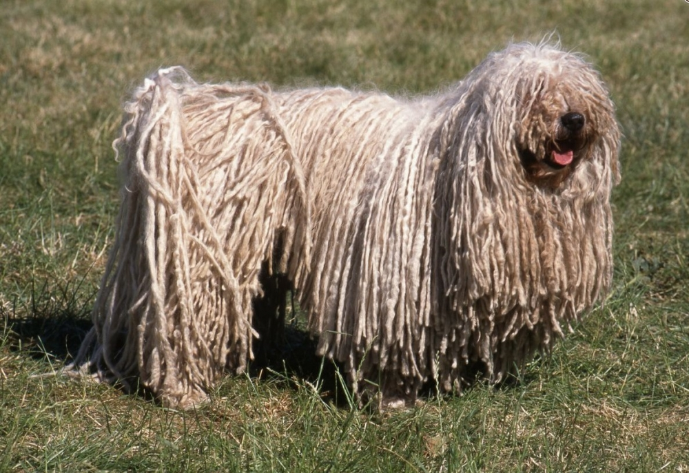 пули порода собак фото