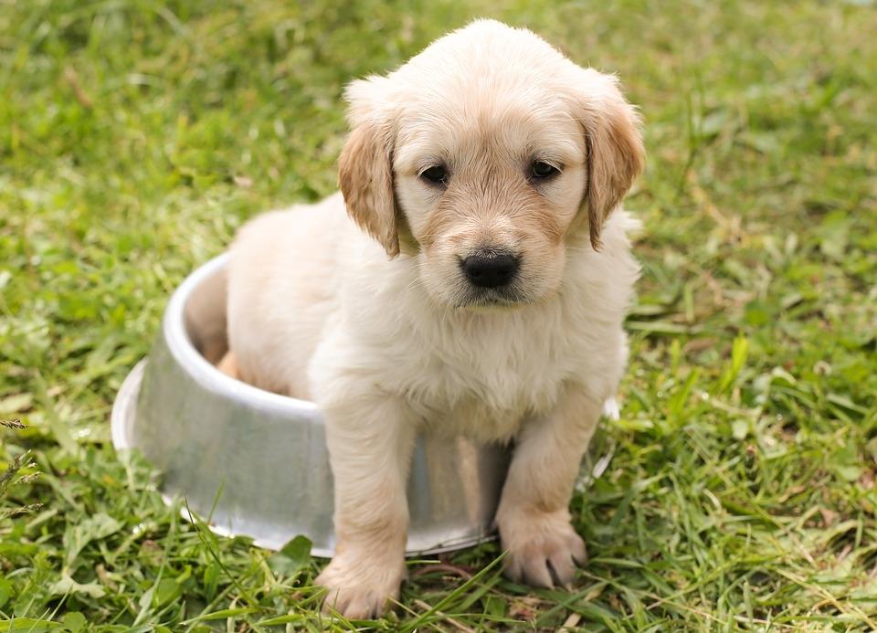 золотистый ретривер фото щенки
