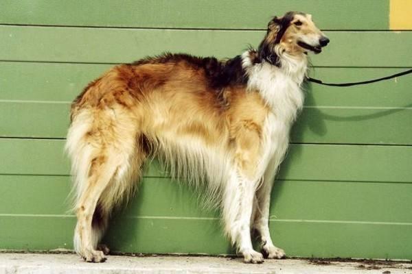 русская борзая собака
