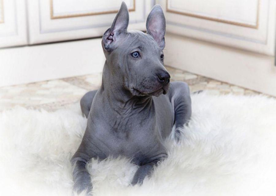 самая дорогая порода собак в мире