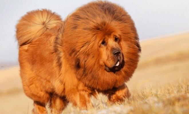 самый дорогой щенок в мире