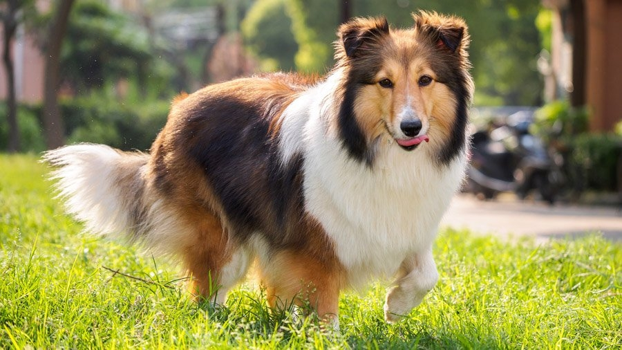 какая порода собак самая умная и преданная