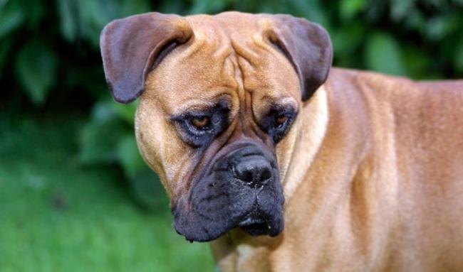 топ 1 самых опасных собак в мире