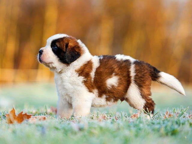 порода собак сенбернар фото