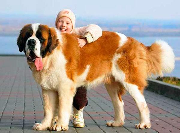 сколько стоит щенок сенбернара