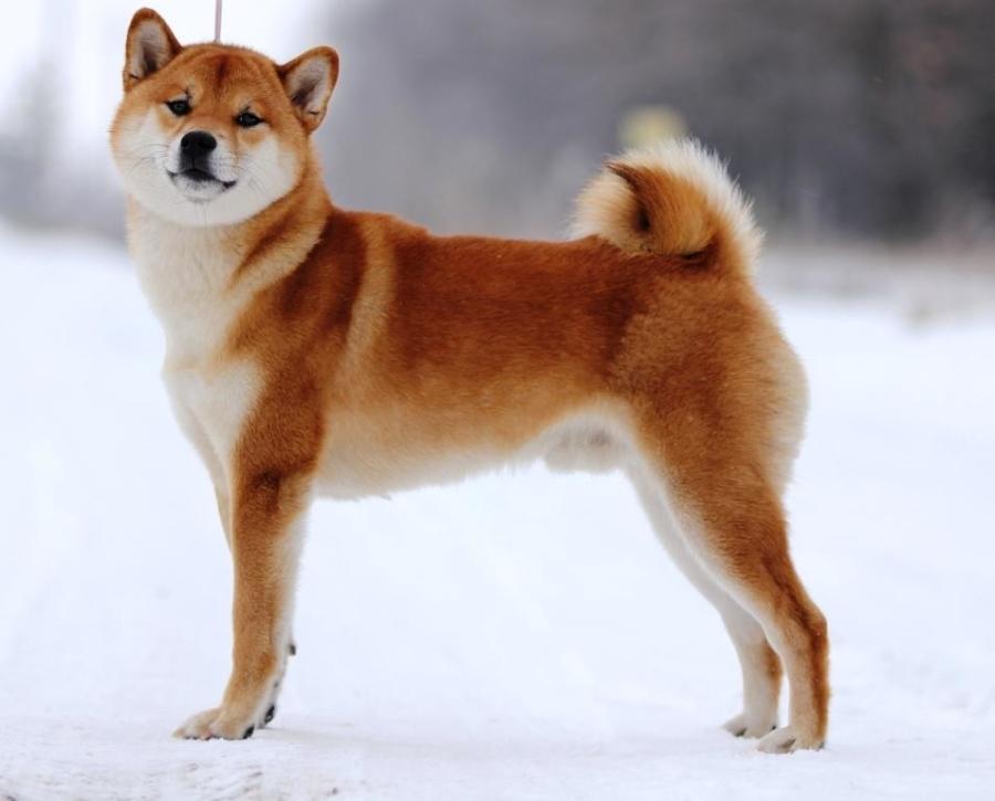 японская собака шиба ину
