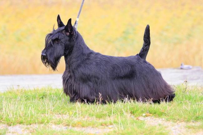 шотландские породы собак