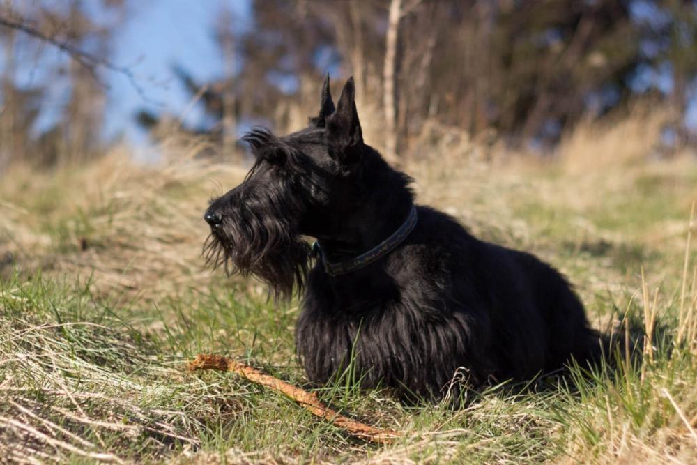 шотландский скотч терьер фото