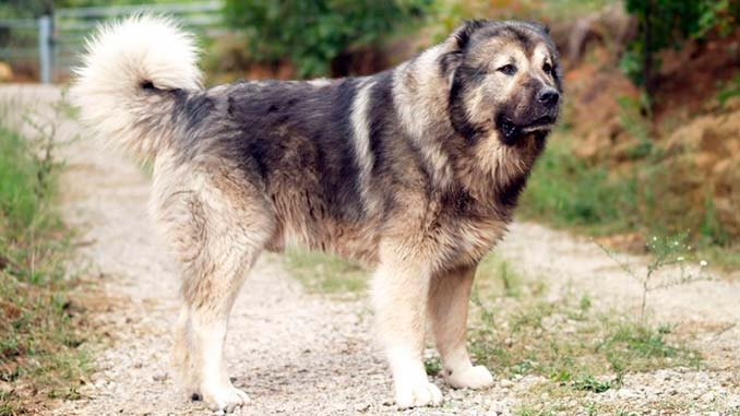 собака охранник для загородного дома