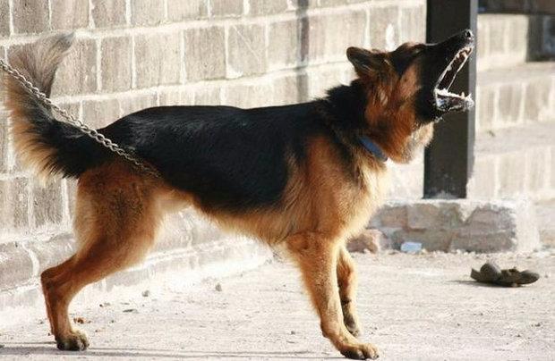 собаки телохранители породы