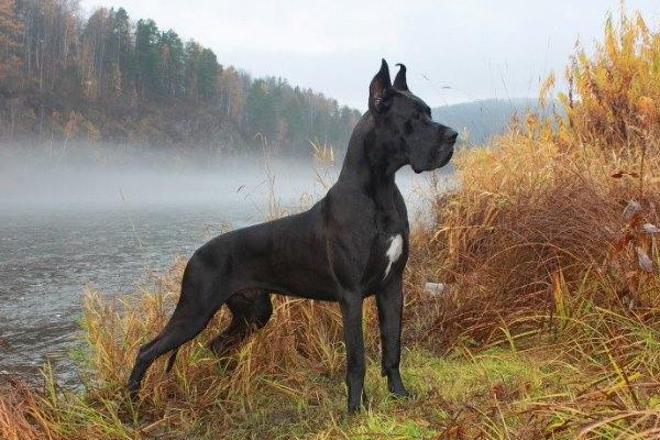 собака которая не умеет лаять