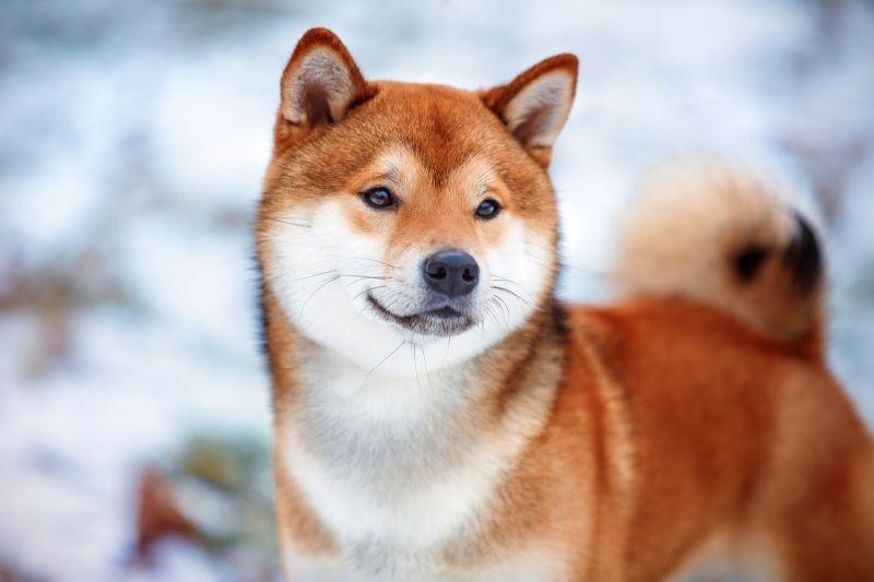 собака которая не лает порода