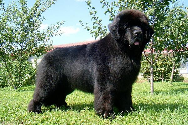 собака похожая на медвежонка