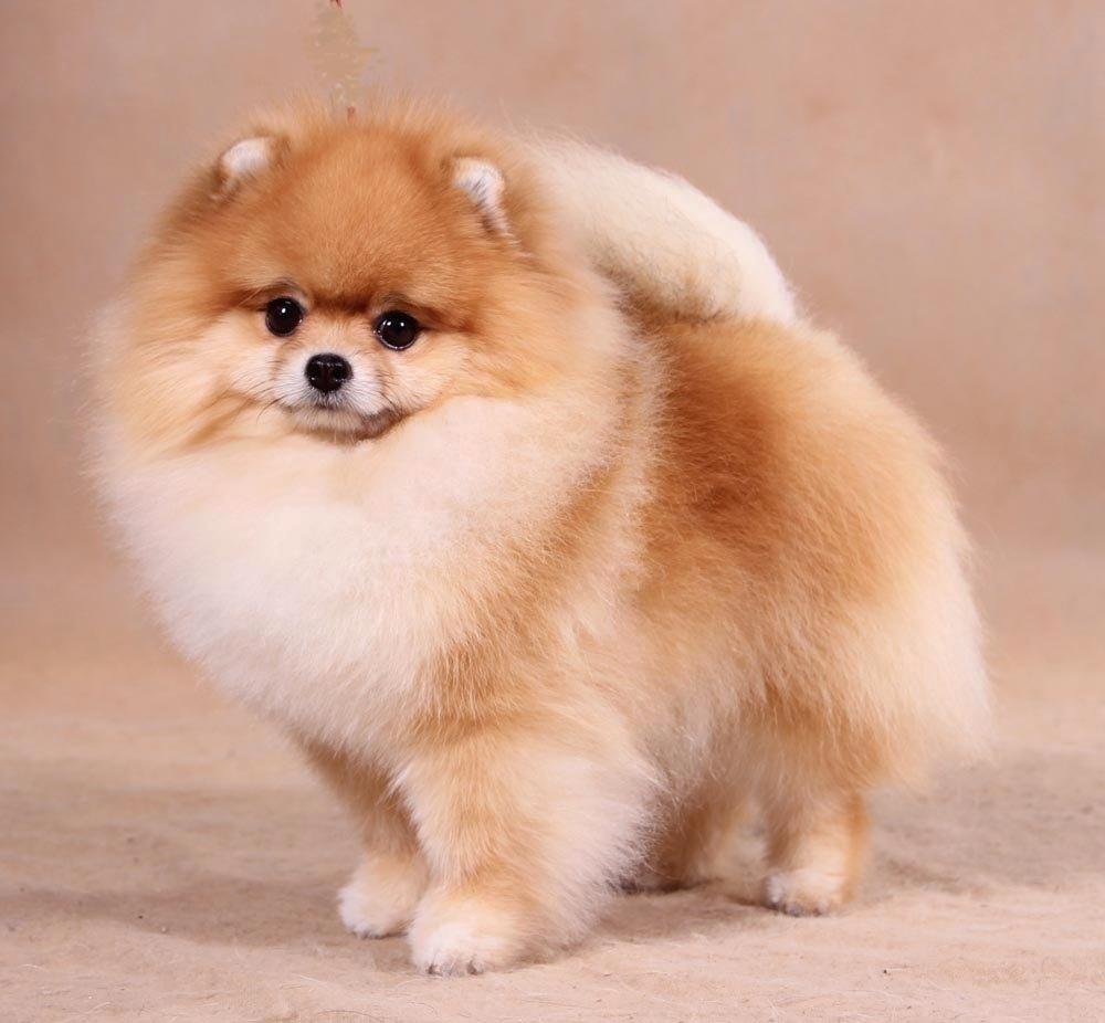 как называется порода собак похожих на мишек