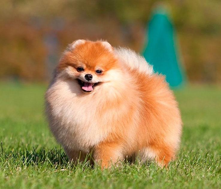 плюшевая собака порода