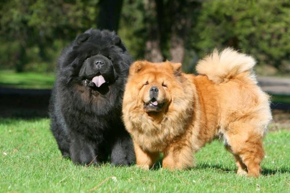 китайская собака медвежонок
