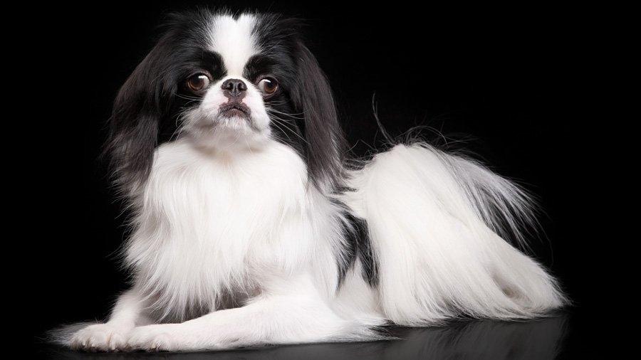 собака у которой выпадают глаза