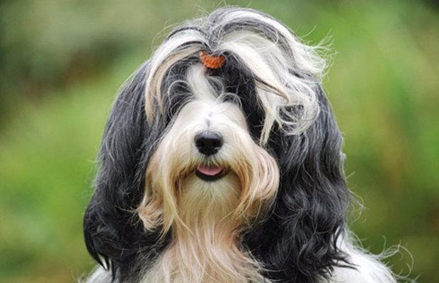 породы собак без подшерстка