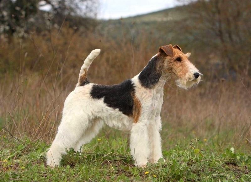 нелиняющие породы собак