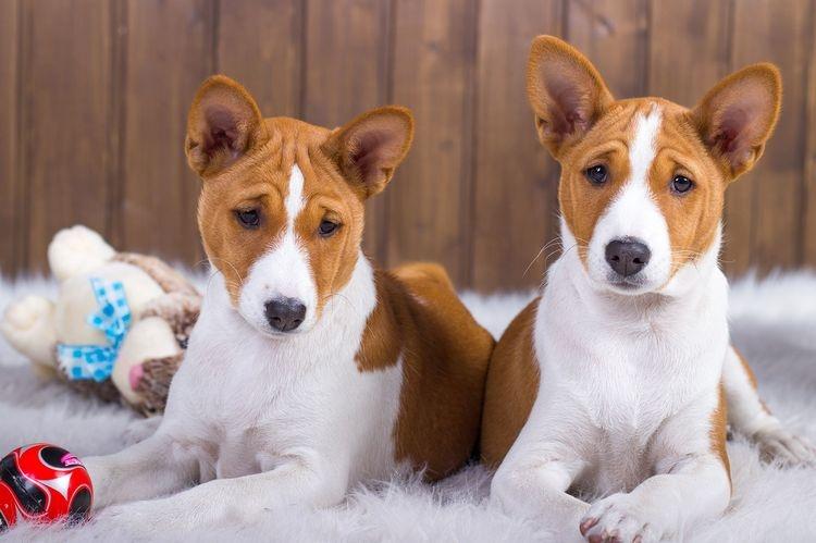 собаки без запаха псины