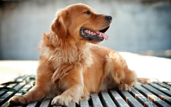 самые спокойные собаки