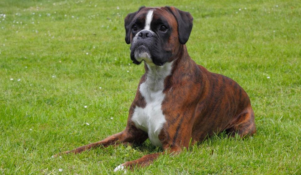 породы сторожевых собак с фотографиями и описанием