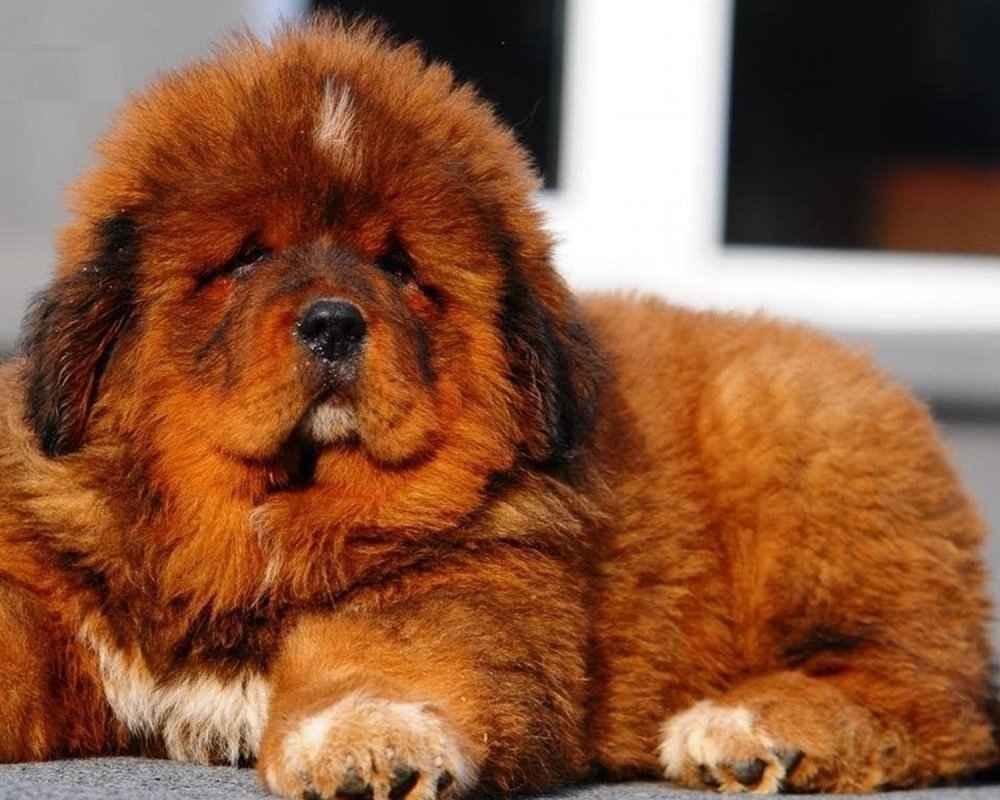 тибетский мастиф размеры и вес