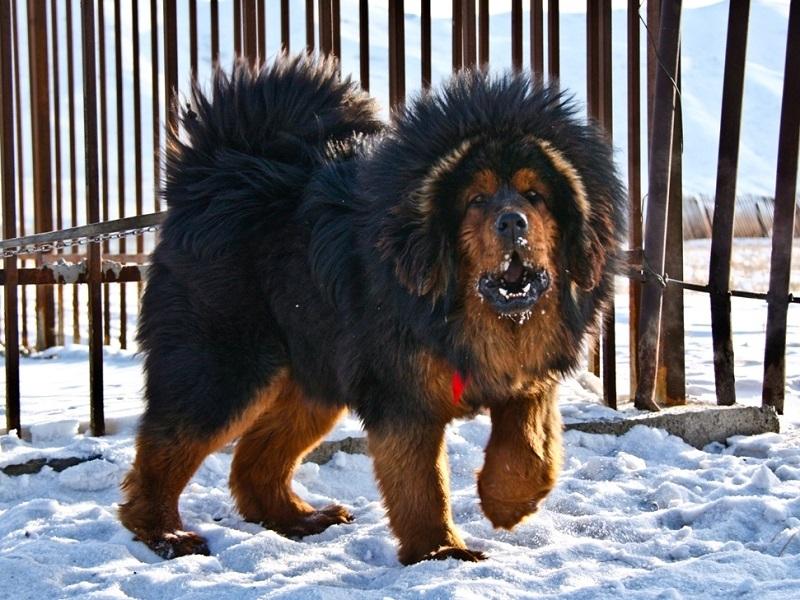 тибетский мастиф фото самый большой в мире