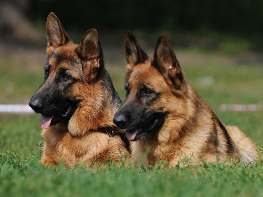 вес щенка немецкой овчарки в 4 месяца